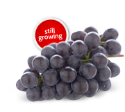 Ontario Sovereign Coronation Grapes